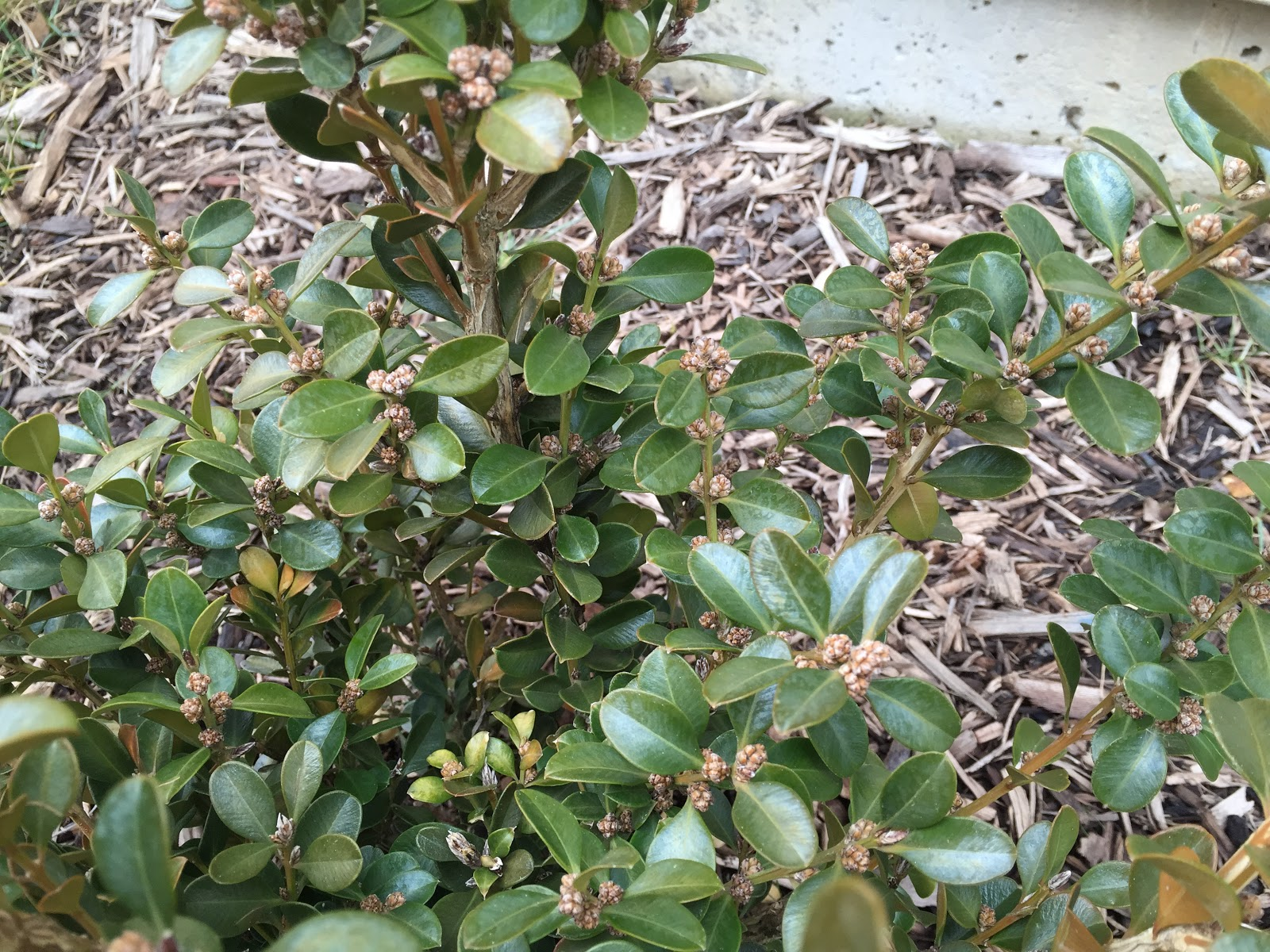 Winter Gem Boxwood Leaves Turning White And Yellow Backyard
