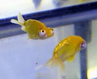 Ikan Hias Koki Fanci Celestion Eye jenis sama