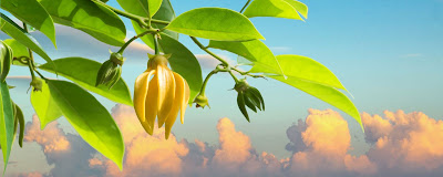 Branche d'Ylang Ylang à Mayotte avec fleur jaune et des pousses vertes et le ciel en arrière plan.