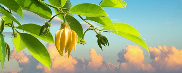 Branche d'Ylang Ylang avec fleur jaune et des pousses vertes et le ciel en arrière plan