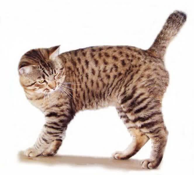 Foto Kucing American Bobtail Lucu Dan Menggemaskan Foto
