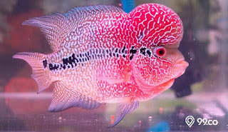 6 Makanan Alami Ikan Louhan Untuk Mendorong Pertumbuhan Jenong dan Warna Merah