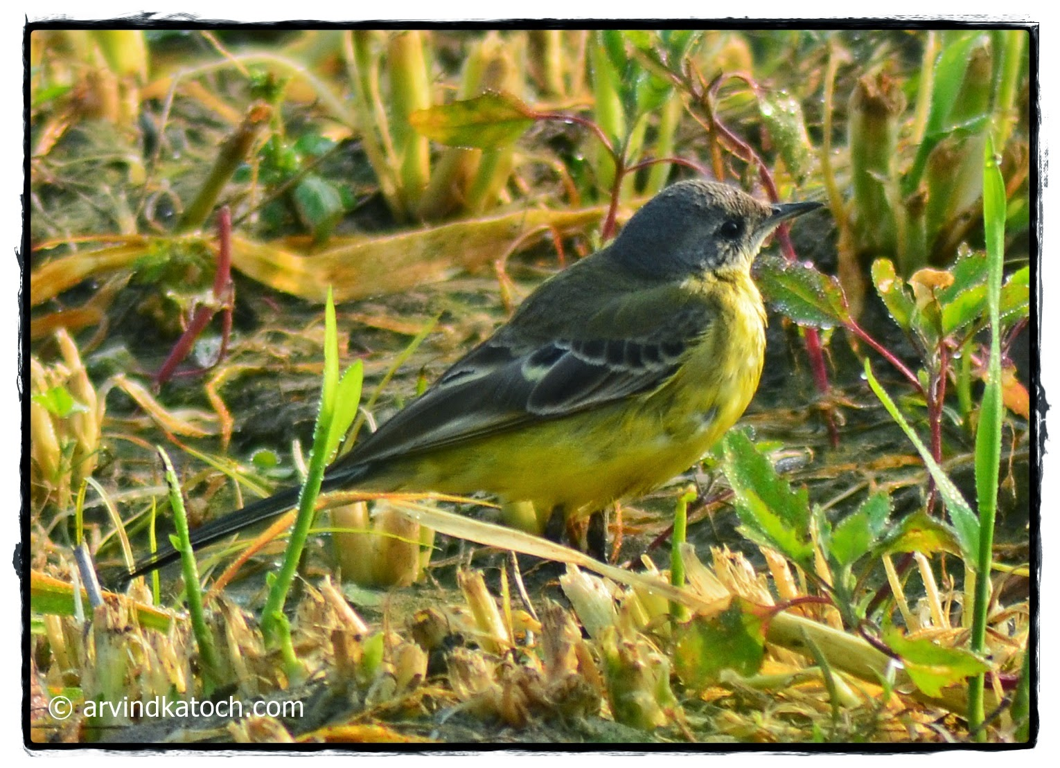 Wagtail, Grey-headed, Yellow, Dark Headed