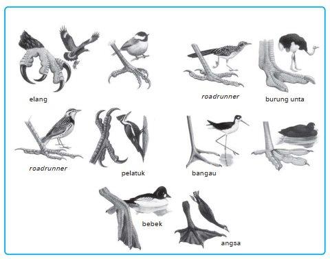 Gambar macam-macam jenis kaki burung/unggas