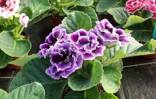 Bunga gloxinia