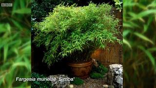 Fargesia Murielae Simba