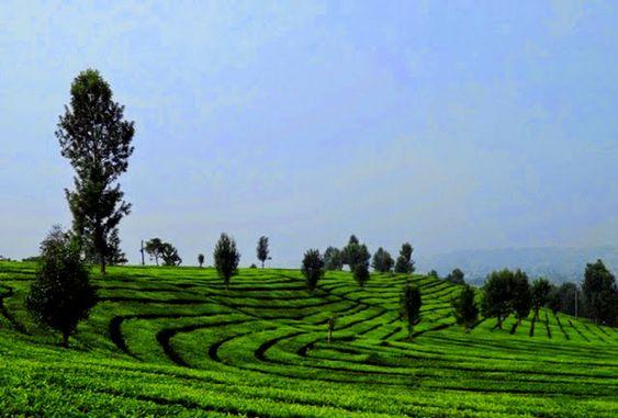 wisata kebun teh lembang bandung