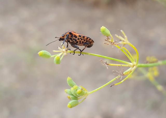 Graphosoma lineatum - Chinche rayada