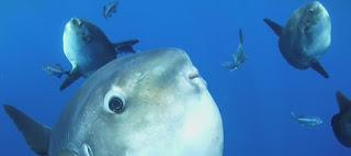 Habitat Ikan Mola Mola