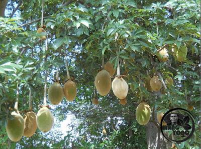 FOTO : Buah Baobab (Ki Tambleg) Adansonia digitata.