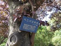 ベニバスモモの木