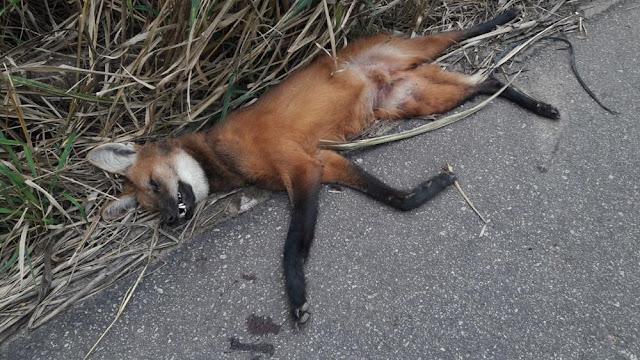 http://vnoticia.com.br/noticia/2672-lobo-guara-encontrado-morto-na-rj-224-proximo-a-floresta-em-sfi