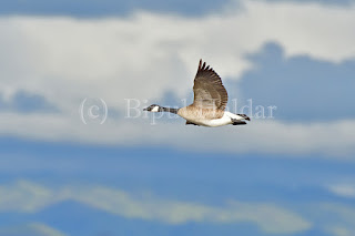 Canada Goose in the sky