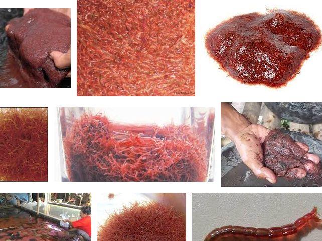 Makanan Ikan Mas koki Agar Cepat Besar