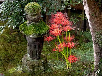 Higanbana (Lycoris radiata) flowers: Kaizo-ji