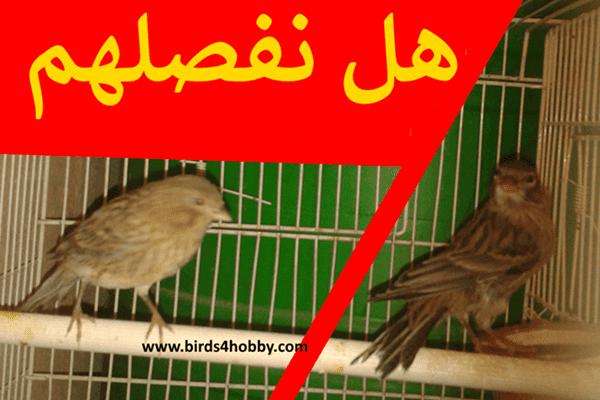 هل يجب فصل ذكور طيور الكناري على إناث طيور الكناري أثناء فترة حضانة البيض ؟