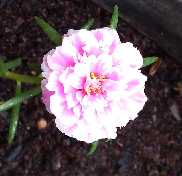 Satu Pria, Satu Bunga. One Person One Flower 一人一花, LOVE SONG