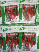 CABE MERAH OR BEAUTIFUL, CARA MENANAM CABE OR BEAUTIFUL, CABE ORIENTAL SEED, LMGA AGRO