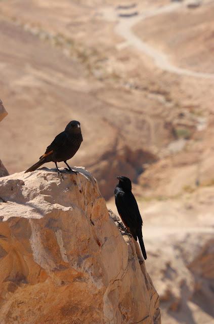 טריסטות במדבר יהודה