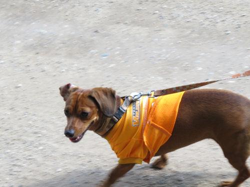 dachshund walking