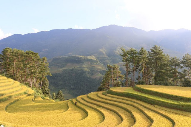 Mu Cang Chai beautiful surprise in the middle of the golden season to hold all visitors 3