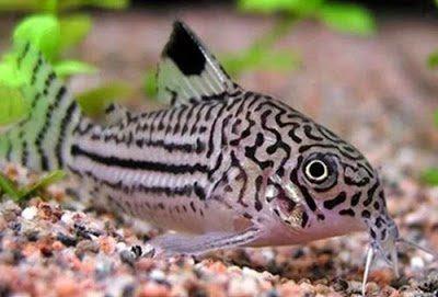 Gambar Ikan Corydoras