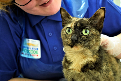 tortoiseshell cat being stroked by Cats Protection volunteer