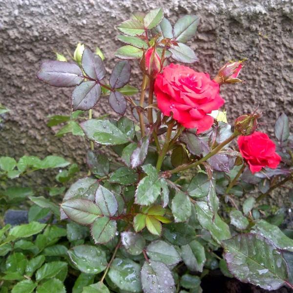 Tanaman hias mawar