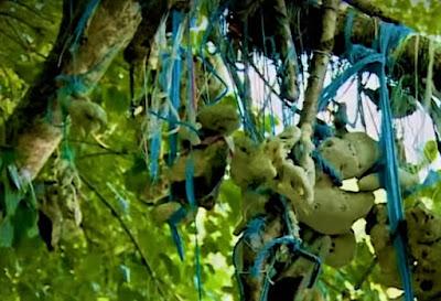 Misteri Pohon Kalibuda