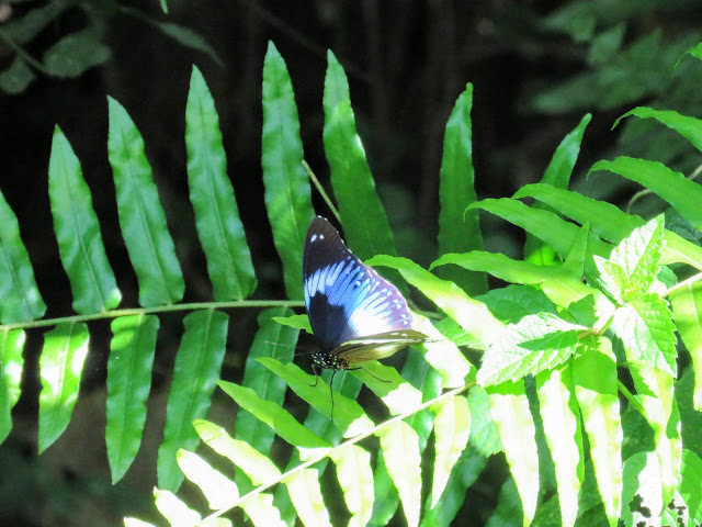 Butterfly in Bigodi Wetlands in Western Uganda