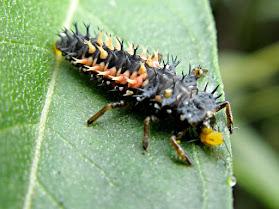 A ladybug larva on a green leaf