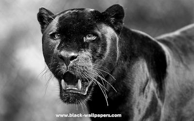 black panther wallpaper 4k