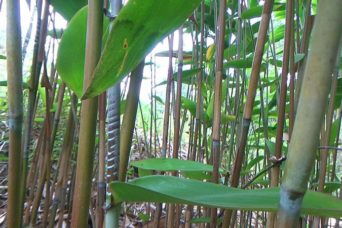 Dlium Tiger grass (Thysanolaena maxima)