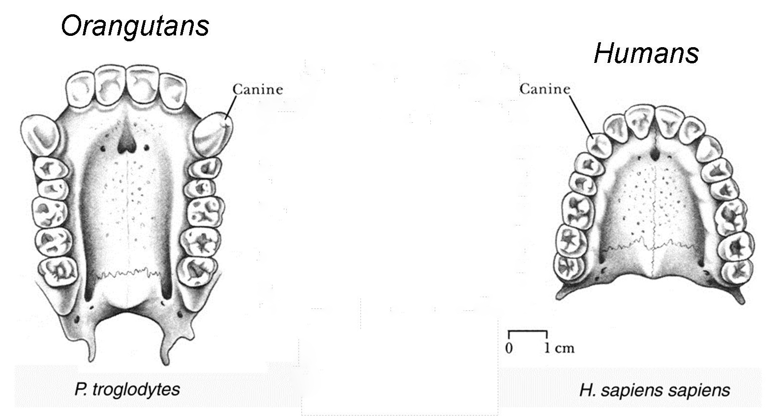 Alligator Tooth Diagram