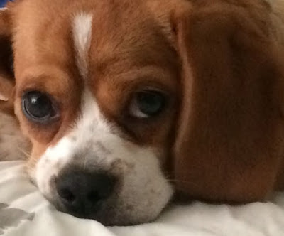 Peagle (Beagle Pekingese mix) Temperament, Size, Adoption, Lifespan