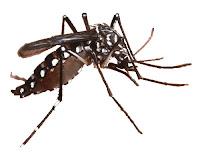 ciri - ciri nyamuk Aedes Aegypti