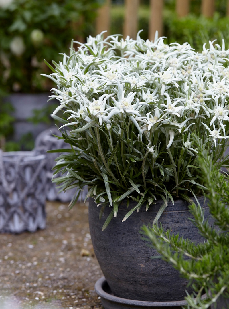 Leontopodium alpinum Blossom of Snow ('Berghman'PBR)