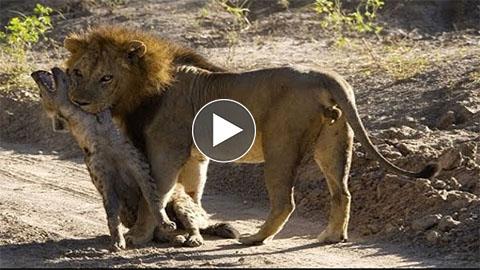 Lion Attack Hyenas Until Die - superanimalclip