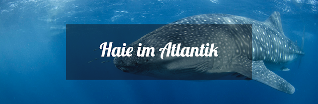 Haie vor den Kanaren