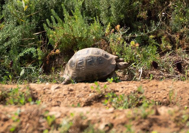 Mediterranean Spur-thighed Tortoise - Souss Massa National Park, Morocco