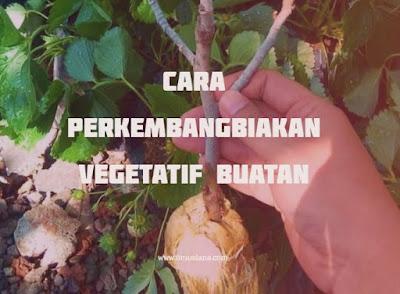 Cara Perkembangbiakan Vegetatif Buatan