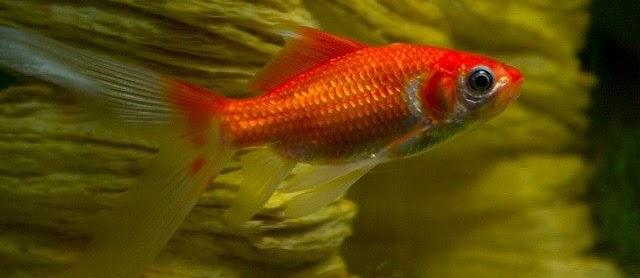 Ikan Mas Koki Komet Ciri-Ciri dan Klasifikasinya