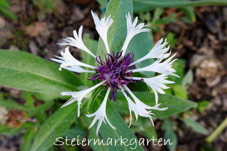 Bergflockenblume-Steiermarkgarten