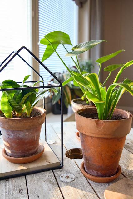 viherkasvi kasvi kukka koti peikonlehti anopinhammas anopinkieli trendikäs sisustaminen