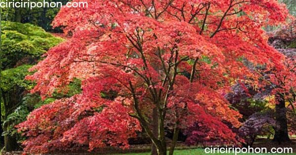 ciri ciri pohon maple