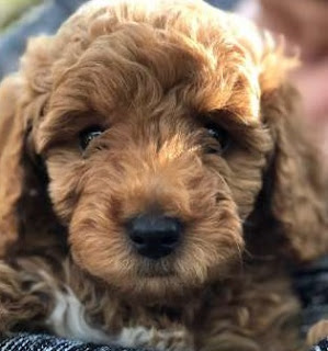 F3b Goldendoodle Temperament, Size, LifeSpan, Adoption, Price