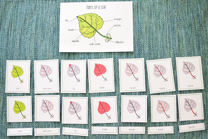 Parts of a Leaf Study for Kids