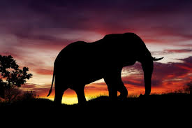 The African elephant evening