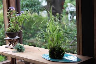 ヤマアジサイ、ヒダカミセバヤ、フウチソウの盆栽3点