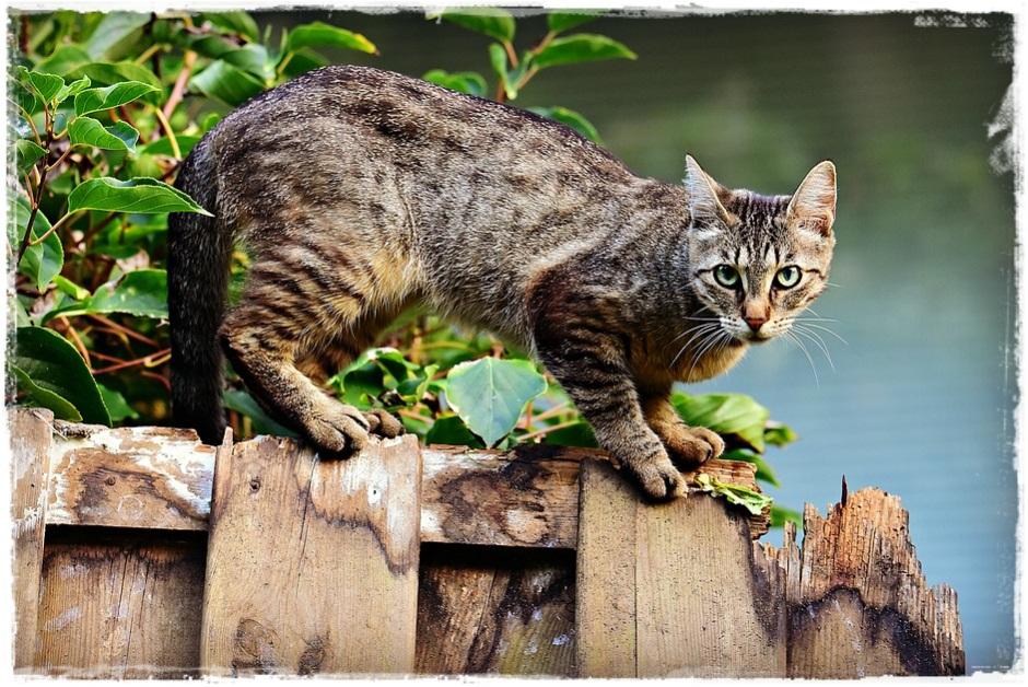Cara Kucing Menandai Wilayahnya